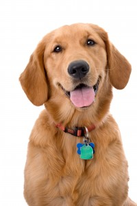 Veterinarians use hook and loop collars to ID dogs that have received vaccinations.