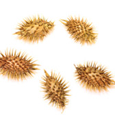 Cockle Burrs